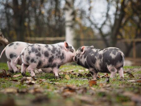 Funny spotted piglets playing on the grass Stock fotó