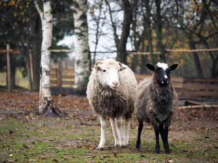 Sheep of different breeds. Romanov sheep and poll Dorset Stock fotó
