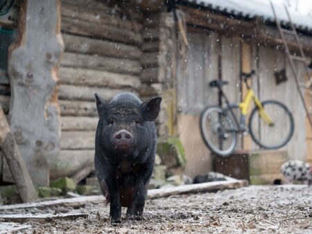 Portrait of a pig on a farm. Change of weather, climate. First snow, cold snap
