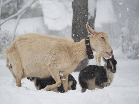 A goat with little goats goes through a snowstorm. Sudden change of weather, cold snap, climate