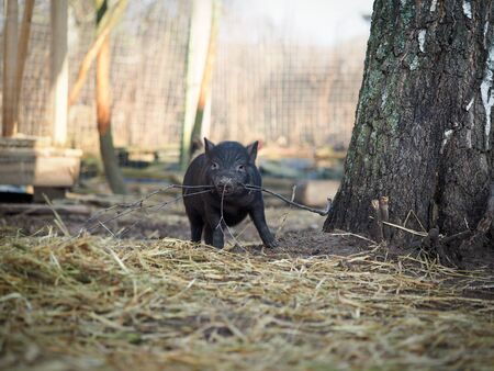 Funny little pig plays with a stick