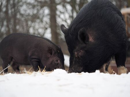A large black sow with a small pig digging in the snow Stockfoto