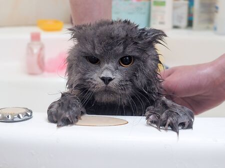 Lavage de chat humide drôle dans la salle de bain