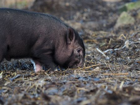A small black pig digs the ground with its nose