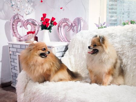 Cute dogs in a romantic interior with hearts