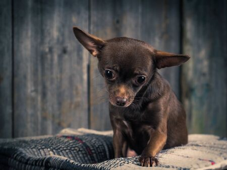 Always sad and unhappy appearance of a Chihuahua dog