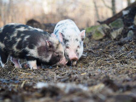 Small free-range pigs. Pigs on a pig farm