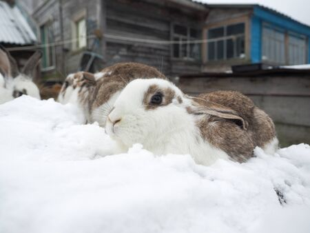 Cute rabbits live in an open pasture in the village