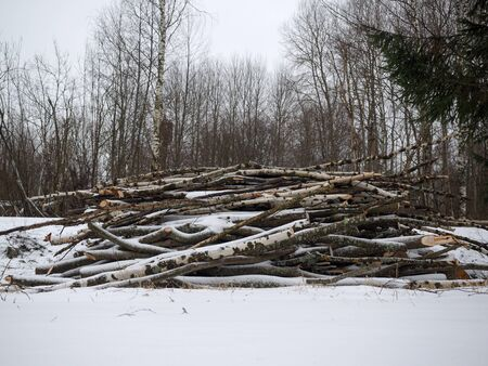 Freshly cut trees for firewood in the forest