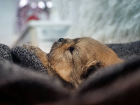 Cute puppy sleeping in a cozy blanket