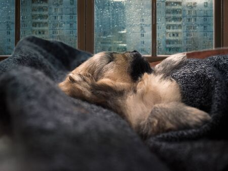The puppy sleeps on the windowsill under a blanket. Its raining behind the glass