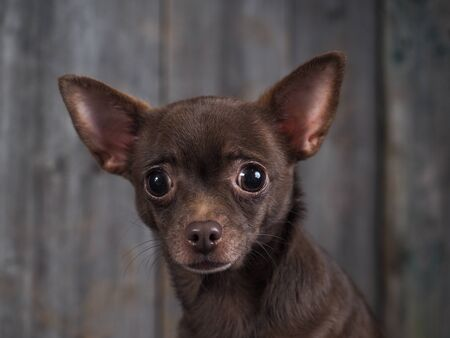 Emotional portrait of a dog. Chihuahua looks surprised 스톡 콘텐츠