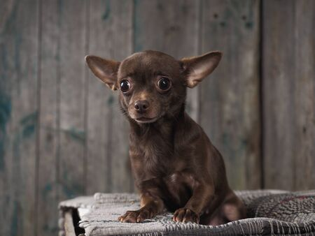 Incredibly stunned dog. Funny Chihuahua 스톡 콘텐츠