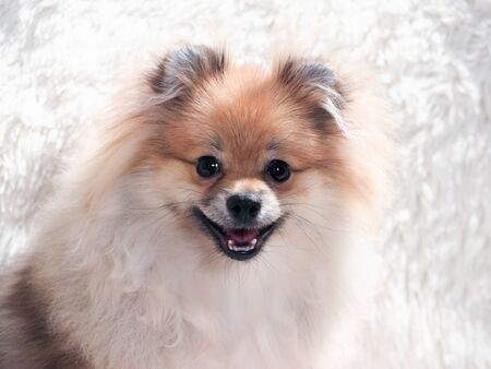 The cute dog is smiling. Shaggy Pomeranian puppy 스톡 콘텐츠