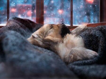 Cute puppy sleeping under a blanket. Outside the window, winter, snow