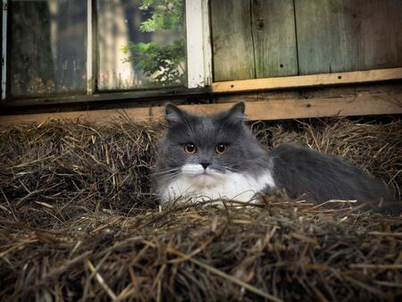 Portrait of a cat in the village hayloft. The animal is resting 스톡 콘텐츠