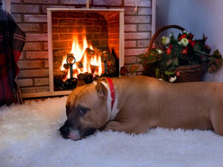 Dog resting on the carpet near the fireplace in a cozy interior 스톡 콘텐츠
