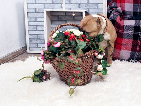 Dog playing with a basket of flowers 스톡 콘텐츠