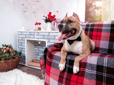 Staffordshire Terrier in a bow tie in a festive decorated interior. Dog on the couch