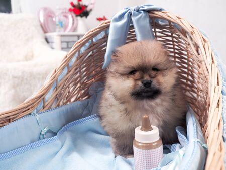 Cute puppy in a baby cradle with a bottle 스톡 콘텐츠