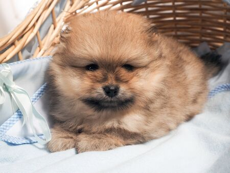 Cute Pomeranian puppy. Portrait of a dog