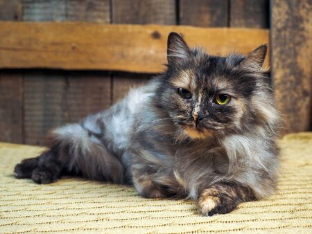 Fluffy tricolor cat. Portrait of an animal