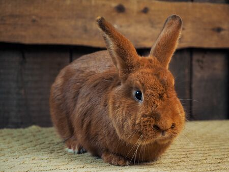 The purebred rabbit is a new Zealand red rabbit. Portrait of an animal
