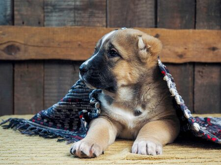 Funny puppy Alabai hiding under the rug 스톡 콘텐츠