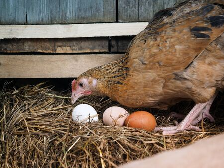 Red hen on a nest with eggs 스톡 콘텐츠