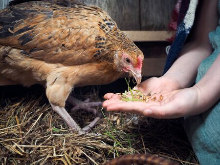 Chicken nibbles grains from a childs palm