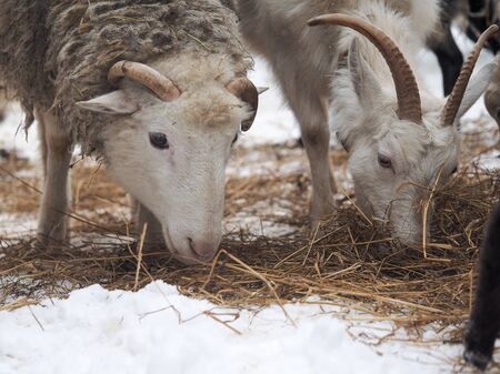 sheep and goat eat straw and hay together in the pasture 스톡 콘텐츠