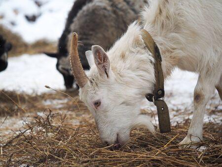 White horned goat eating straw on a farm 스톡 콘텐츠