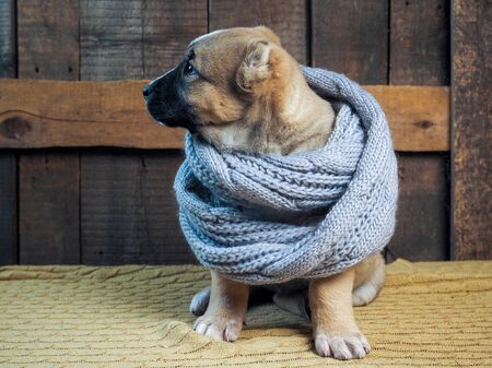 Cute puppy in a warm scarf. Portrait of a dog