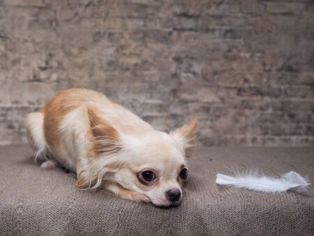 Portrait of a Chihuahua the smallest dog 스톡 콘텐츠