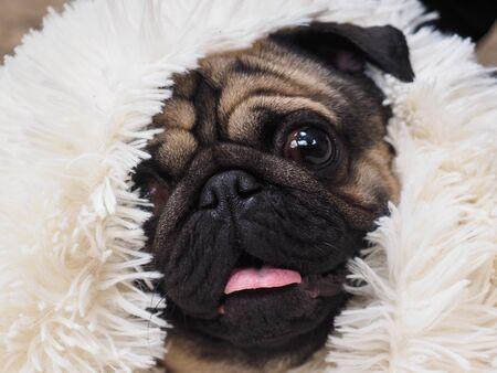Portrait of a funny dog. Folded muzzle of a pug Banco de Imagens
