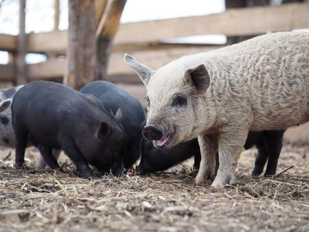 Joint keeping of pigs of different breeds Standard-Bild