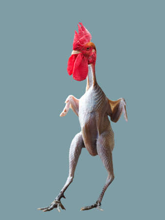 Funny plucked rooster without feathers Banque d'images