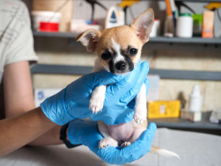 Examination of the dog by a veterinarian. Chihuahua puppy Banque d'images