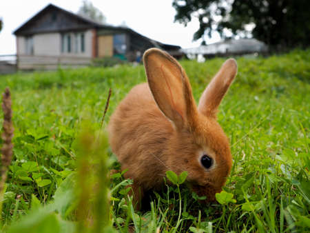 Red rabbit in the grass