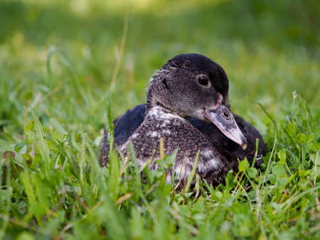 Duck in the green grass