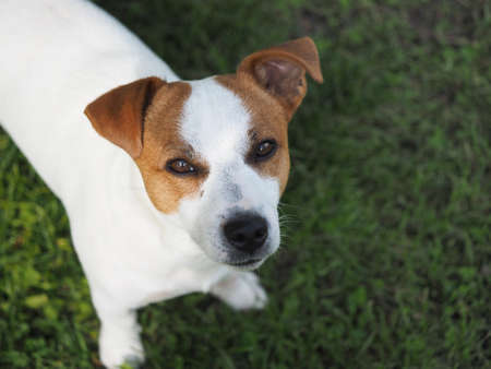 Jack Russell dog. Portrait of a dog on the green grass