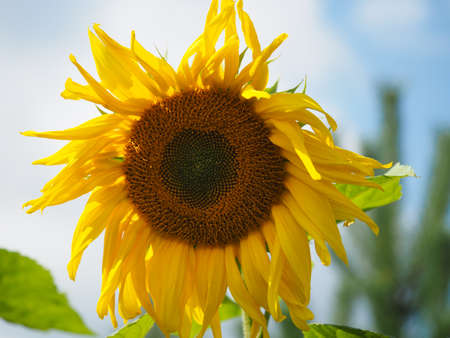 Big flower of a sunflower with seeds