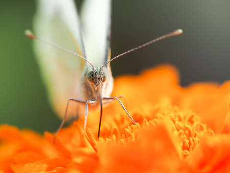 Beautiful butterfly on an orange flower Banque d'images