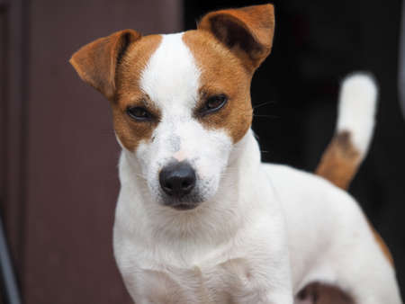 Emotional look of a dog. Portrait of a Jack Russell dog