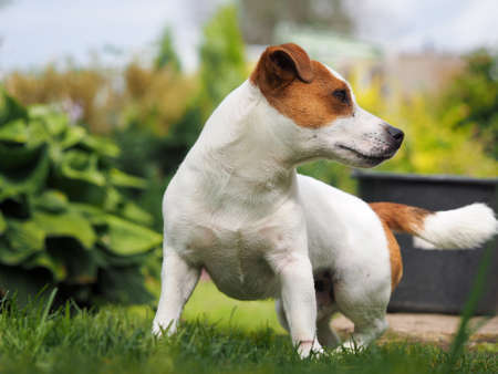 Dog breed Jack Russell. Portrait of a puppy