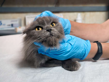 A veterinarian examines a disgruntled cat Banque d'images