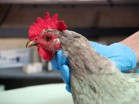 The veterinarian examines the chicken Banque d'images