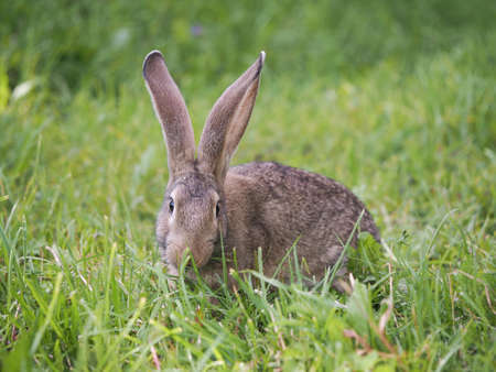gray rabbit in the grass