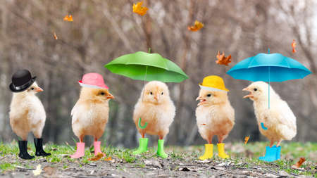 Funny chickens in boots and under umbrellas. Banque d'images
