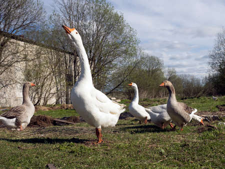 Geese on the farm pasture
